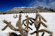 pvc012510a/1-25-10/asec.  A cholla cactus plant at Elena Gallegos Picnic Area and Albert G. Simms Park is set against the snow dusted Sandias, photographed Monday Jan. 25, 2010.   (Pat Vasquez-Cunningham/Journal)