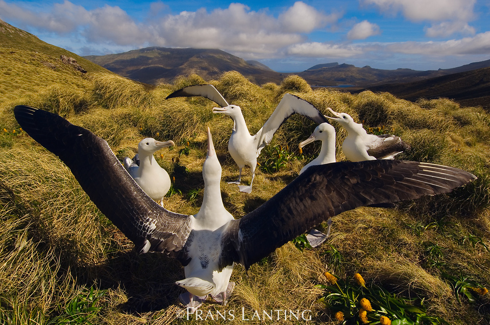 Southern royal albatrosses courting, Campbell Island, New Zealand