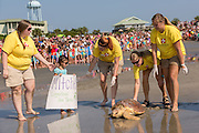 Marine biologists from the South Carolina Aquarium release Mitchell, a 65-pound juvenile loggerhead sea turtle back to the ocean during the release of rehabilitated sea turtles August 6, 2014 in Isle of Palms, South Carolina. The turtle was found entangled in a fishing line, malnourished and covered in barnacles and rehabilitated by the sea turtle hospital at the South Carolina Aquarium in Charleston.