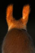 DEU, Deutschland: Europäisches Eichhörnchen (Sciurus vulgaris), Rückenansicht, die Fellbüschel an den Ohren werden Pinsel genannt, im Winter wird das Fell länger und die Pinsel können zwei bis drei Zentimeter lang werden, Eckernförde, Schleswig-Holstein | DEU, Germany: Eurasian Red Squirrel (Sciurus vulgaris), rear view, tufted ears, in winter the fur is long and the tufts are two to three centimeter; Eckernfoerde, Schleswig-Holstein