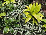 Dracaena deremensis 'Janet Craig Compacta' house plant. Molbak's Garden & Home, Woodinville, Washington.