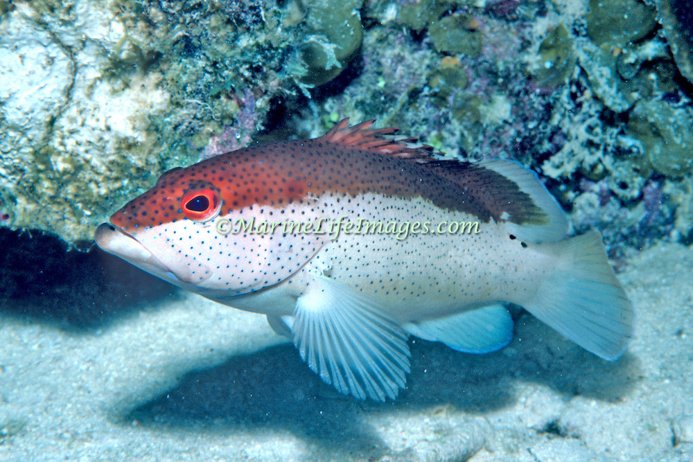 Coney, bicolor phase, inhabit reefs in Tropical West Atlantic; picture taken Grand Cayman.