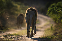 Male lions, Marataba Private Game Reserve, Limpopo, South Africa
