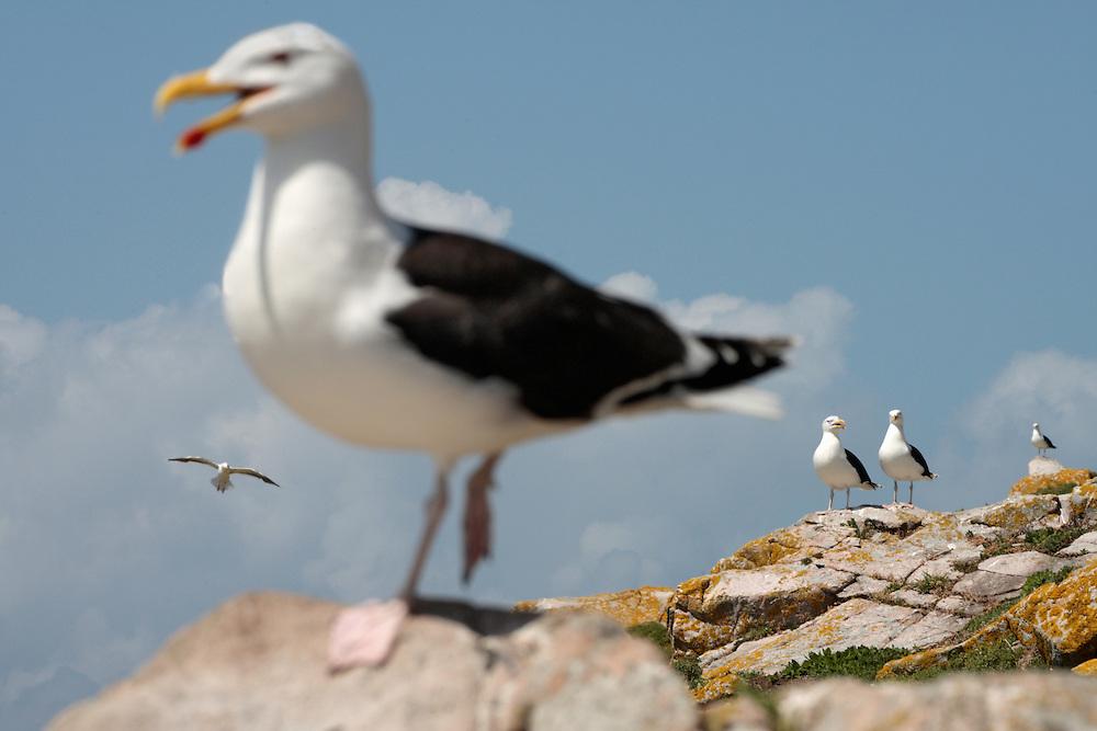 Greater black-backed gull ( Larus maritimus ) Ireland Saltee Islands