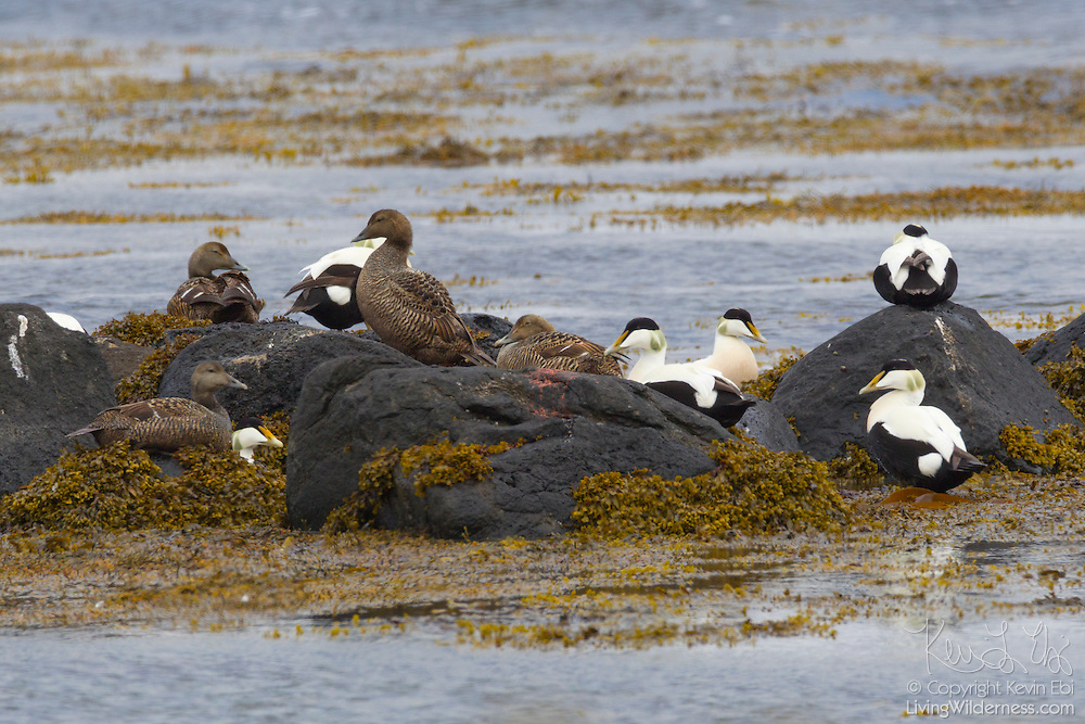 Numerous common eiders (Somateria mollissima) nest on the shore at Þorpar, Iceland, located next to a large fjord in the northwestern part of the country. Common eiders are a large sea duck that nest at the edge of the sea. Nests are lined with feathers plucked from the female eider's breast.
