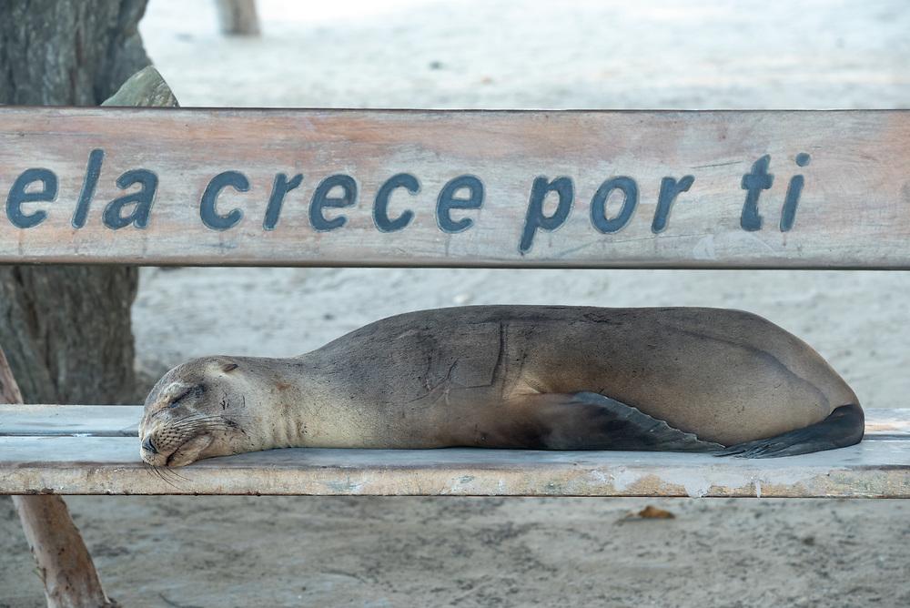 Sea lion on a bench seat, Puerto Villamil, Isabela Island, Galapagos Islands, Ecuador.