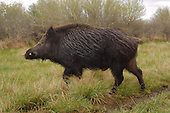 Feral Hog Hunting Stock Photos
