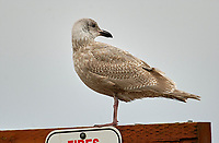 Western Gull (Larus occidentalis), Goose Spit, Vancouver Island, Canada - 1st winter plumage   Photo: Peter Llewellyn