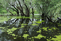 Swamp forest in bird colony. Danube delta rewilding area, Romania