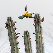 A brown-throated parakeet (Eupsittula pertinax xanthogenia) eating the fruit of a candle cactus. Bonaire has been in a drought for almost three years, so fruit is difficult to come by.  The subspecies, which has more yellow on its face than other subspecies, is endemic to Boniare. Now that the trade in yellow-shouldered amazon parrots is illegal, some Bonarieans believe that the parakeet is being poached more regulalry and that its numbers may be going down without anyone really noticing..