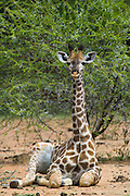 Giraffe (Giraffa camelopardalis) Sitting<br /> Marakele Private Reserve, Waterberg Biosphere Reserve<br /> Limpopo Province<br /> SOUTH AFRICA<br /> RANGE: Savanna regions in scattered isolated pockets of Sub-Saharan Africa.