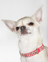 Chihuahua wearing studded collar close-up