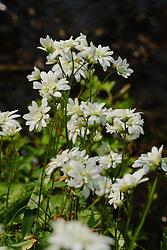 Haarlems klokkenspel,  Saxifraga granulata cv. plena, Knolsteenbreek