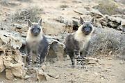 Brown hyena (Parahyaena brunnea oder Hyaena brunnea) pups outside their den, 8 month old, Tsau-ǁKhaeb-(Sperrgebiet)-Nationalpark, Namibia | Schabrackenhyäne (Parahyaena brunnea oder Hyaena brunnea), am Bau, die jungtiere sind 8 Monate alt, werden abber immernoch von der Mutter gesäugt. Sperrgebiet National Park, Namibia