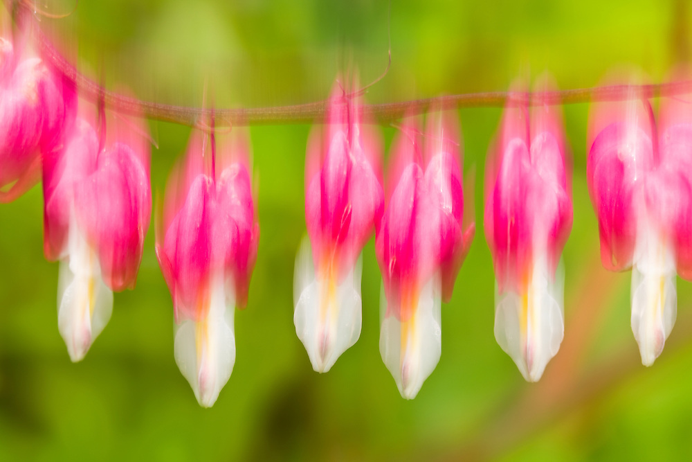Intentional motion blur of Bleeding Hearts (Dicentra spectabilis) flowers in bloom in late spring in a garden in Southcentral Alaska. Afternoon.