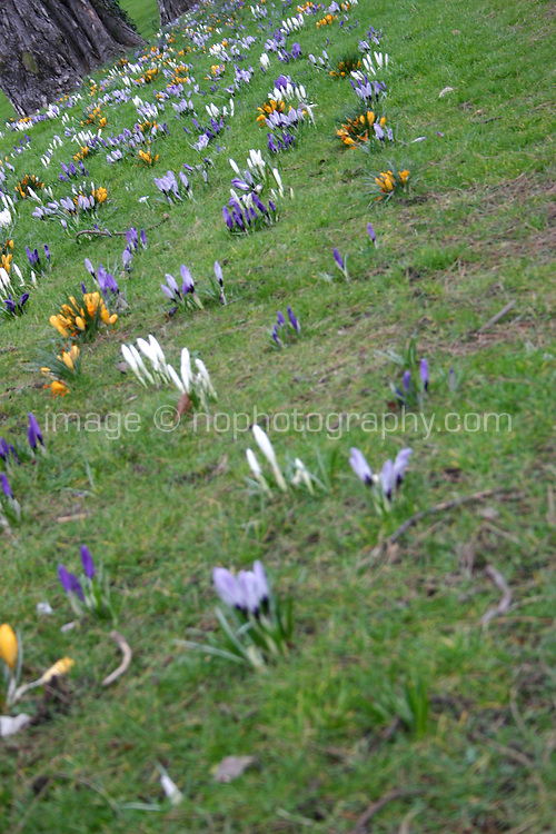 Crocus flowers growing in Cabinteely Park Dublin Ireland