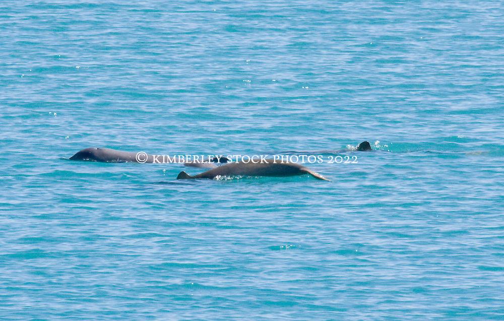 Snubfin dolphins (Orcaella heinsoni) in Silvergull Creek.