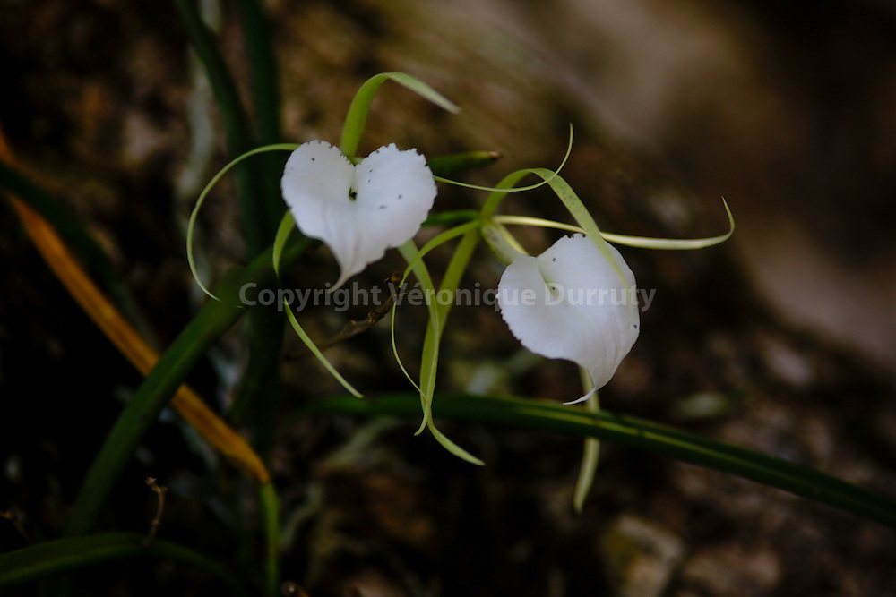 Orchids, Corcovado National park, Costa Rica // Orchidees,  Parc national Corcovado, Costa Rica