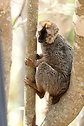 Red Fronted Lemur, Eulemur rufifrons, male sitting in tree, Isalo National Park, Madagascar, Near Threatened on the IUCN Red List and is listed on Appendix I of CITES