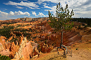 The Walking Tree at Sunrise Point. Bryce Canyon National Park in Utah.