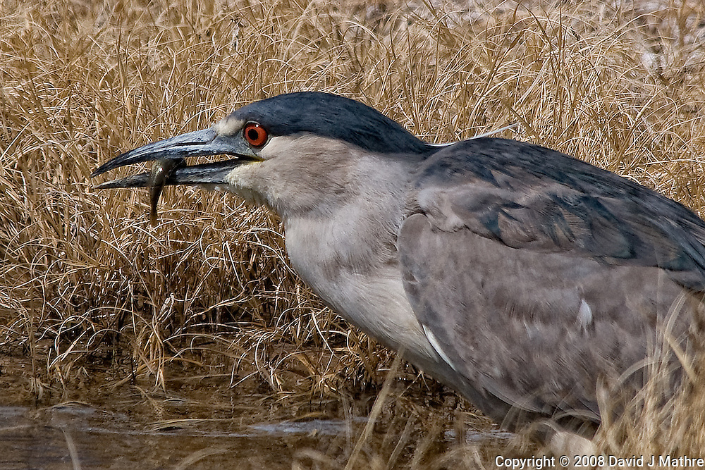 Black Crowned Night Heron Been Fishing, Alamosa National Wildlife Refuge in Southern Colorado. Image taken with a Nikon D300 and 80-400 mm VR lens (ISO 200, 400 mm, f/8, 1/1600 sec). .