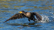 A double-crested cormorant flies low over the water, Redwood Shores, CA.