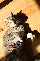 Senior pet tabby cat lying on wooden kitchen floor