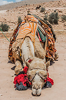 camels in Nabatean Petra Jordan middle east