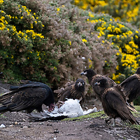 A turkey vulture and striated caracaras feed on the carcass of a goose on New Island, Falkland Islands.