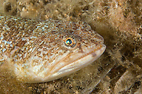 portrait of Greater weever (Trachinus draco) Larvotto Marine Reserve, Monaco, Mediterranean Sea<br /> Mission: Larvotto marine Reserve