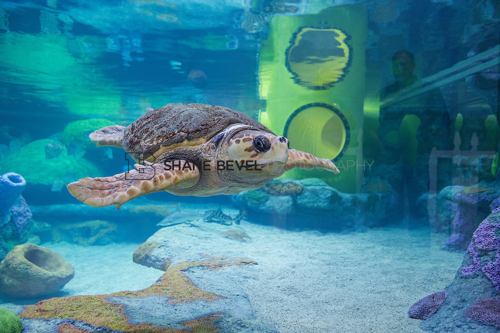 3/2/17 11:00:58 AM -- The ribbon cutting and grand opening of the new sea turtle exhibit at the Oklahoma Aquarium in Jenk, Okla. <br /> <br /> Photo by Shane Bevel