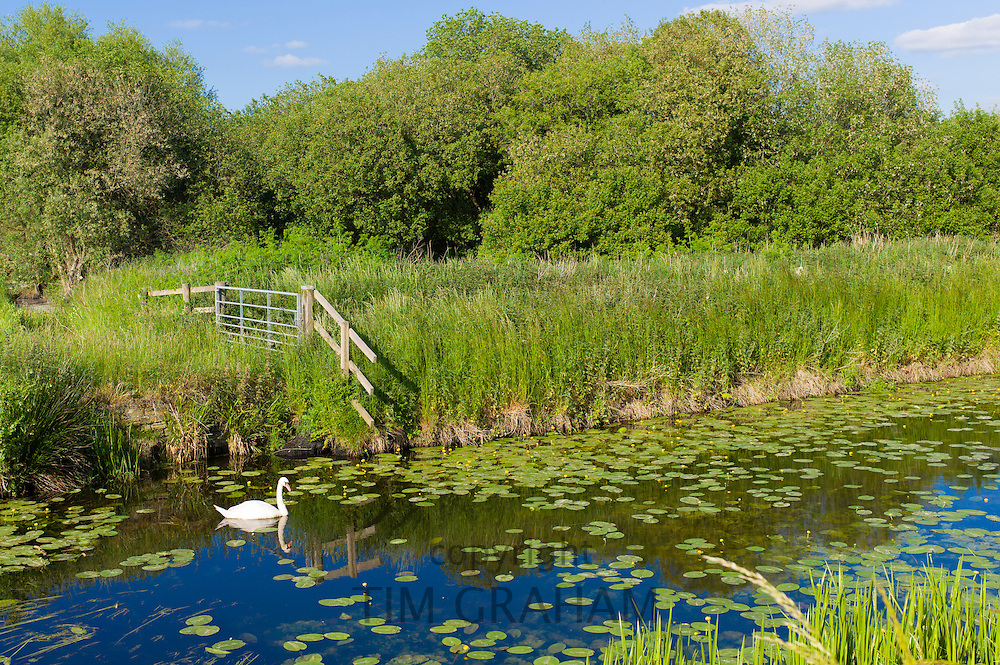 Mute Swan, Cygnus olor, on the Somerset Levels wetlands in summer. Rhynes used for drainage can suffer flooding in winter, UK