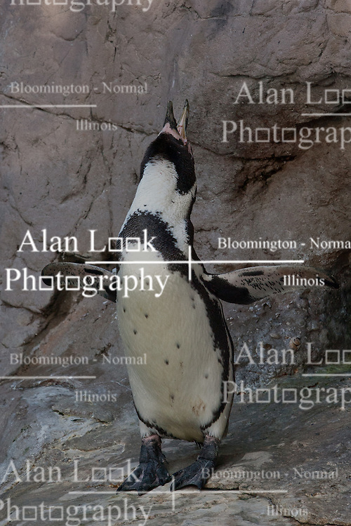 19 October 2010: Humboldt Penguin. St. Louis Zoo, St. Louis Missouri (Photo by Alan Look)