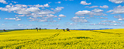 Canola field under blue sky and cumulus clouds near Sebastopol, New South Wales, Australia