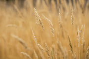 Close-ups of isolated wheat amongst golden fields