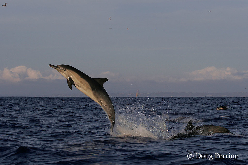 long-beaked common dolphin, Delphinus capensis (formerly lumped with common dolphin, Delphinus delphis ) jumping out of water, off San Diego, California, U.S.A. ( eastern Pacific Ocean )