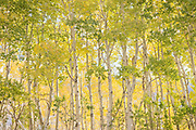 Aspen, June Lake Loop, Inyo National Forest, California 2008
