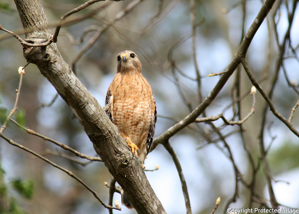 A Red Shouldered Hawk perched on an oak branch, hunting squirrels in Georgia.