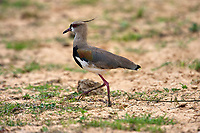 Southern Lapwing (Vanellus chilensis), The Pantanal, Mato Grosso, Brazil Photo by: Peter Llewellyn