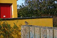 Bird on an upturned wooden palette, The Aran Islands, Ireland