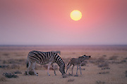 A young Burchell's zebra foal (equus burchellii) displaying flemen (transfer of pheromones into the vomeronasal organ in the roof of the mouth). Sunrise on the plains near Okaukuejo, Etosha National Park, Namibia