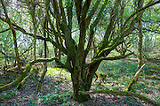 Ancient moss-covered tree in woodland at  Bruern Wood in The Cotswolds, Oxfordshire, UK