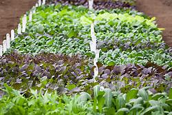 The salad leaf trials at CN seeds