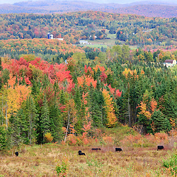 Cattle and fall foliage in Vermont's Northeast Kingdom.  Cabot, VT.