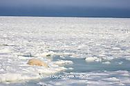 01874-11520 Polar Bear (Ursus maritimus) sleeping on ice, Hudson Bay, Churchill Wildlife Management Area,  MB
