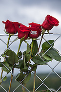 Roses left on a fance at  Flight 93 National Memorial site's temporary memorial  overlooking the field where the flight crashed in Shanksville Pennsylvania. The temporary site will close on Sept. 9th at 4 P.M. and on Sept. 10 the official memorial will open in time for the 10th anniversary of 9/11