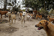 Most of the 500 dogs roam freely on the grounds of the Yangon Animal Shelter.