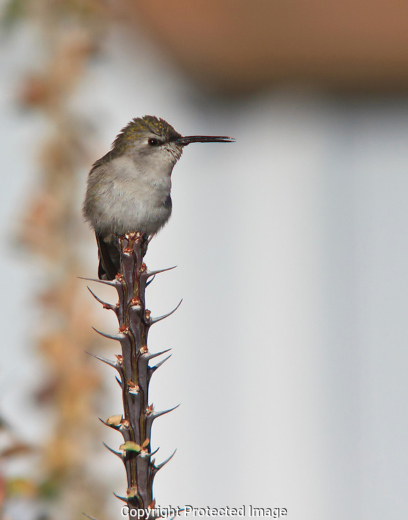 Female Costa's hummingbird resting on spiny Ocotillo stalk