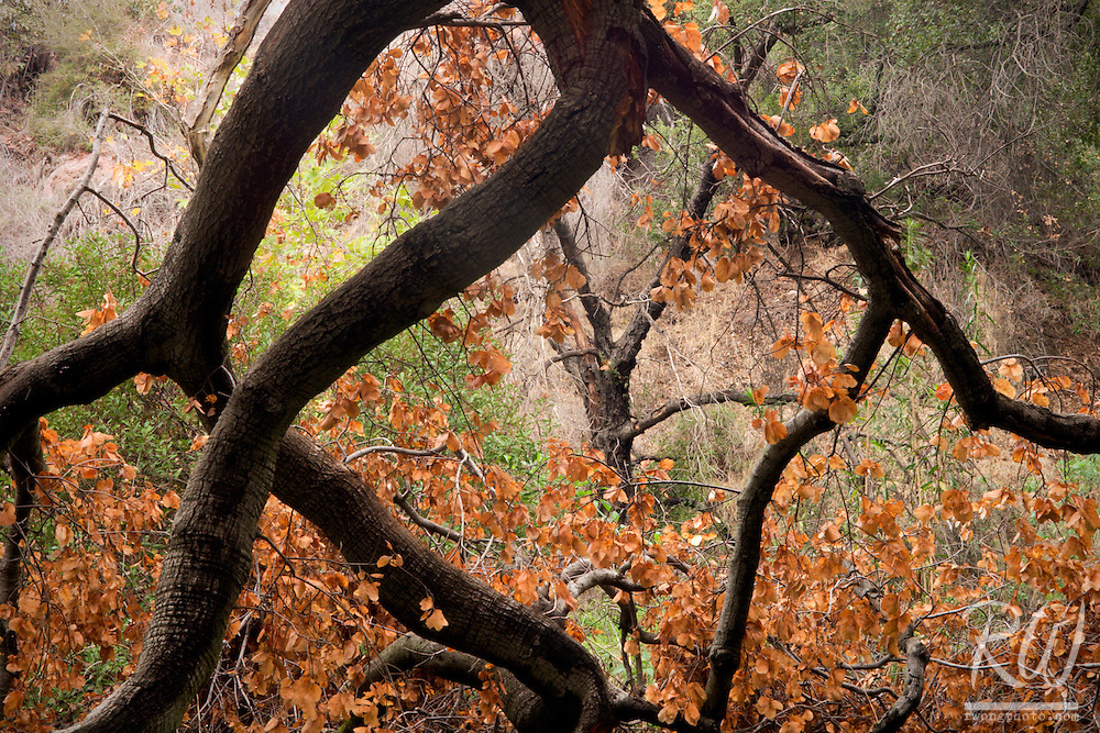 Fallen Oak Tree Fall Foliage in San Dimas Experimental Forest, San Gabriel Mountains, California
