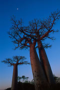 MADAGASCAR: Morondava<br /> Baobab trees